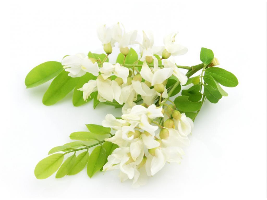 Акация цветки ( Acacia flowers)  50 гр.