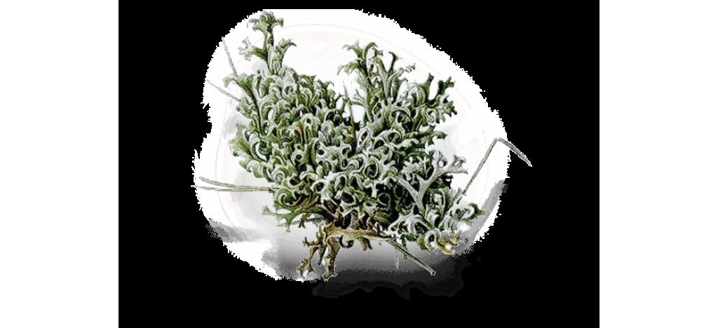 Купить Исландский мох  Пармелия от 30 гр.
