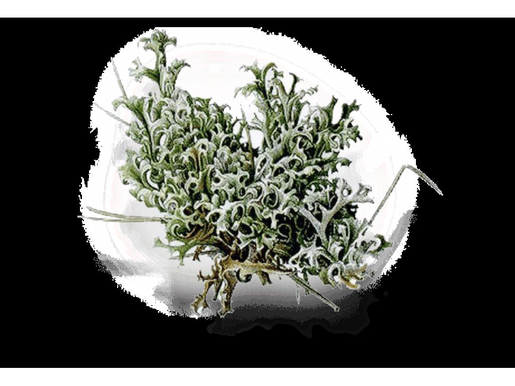 Исландский мох (Parmelia islándica) Пармелия 30 гр.